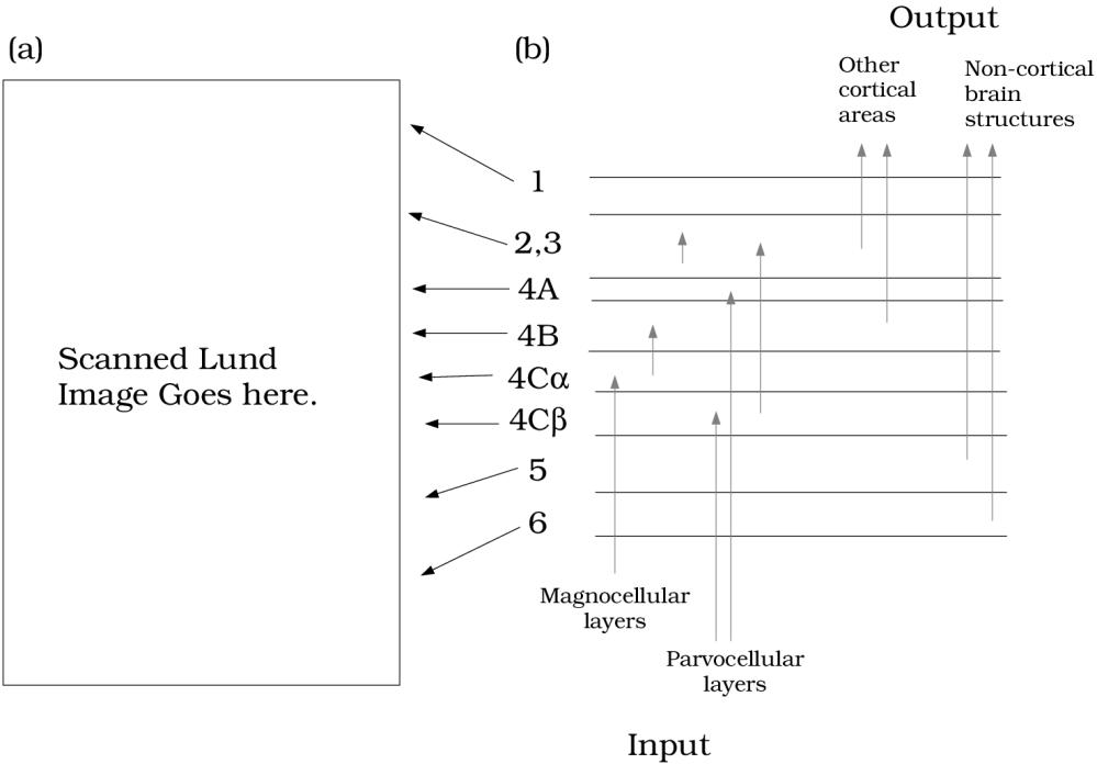 medium resolution of cortexlayers