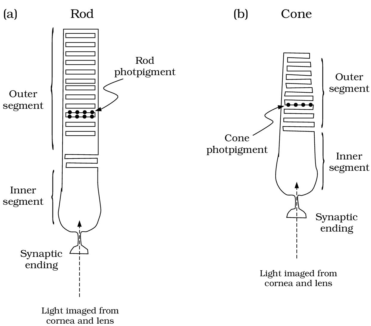 hight resolution of photoreceptor