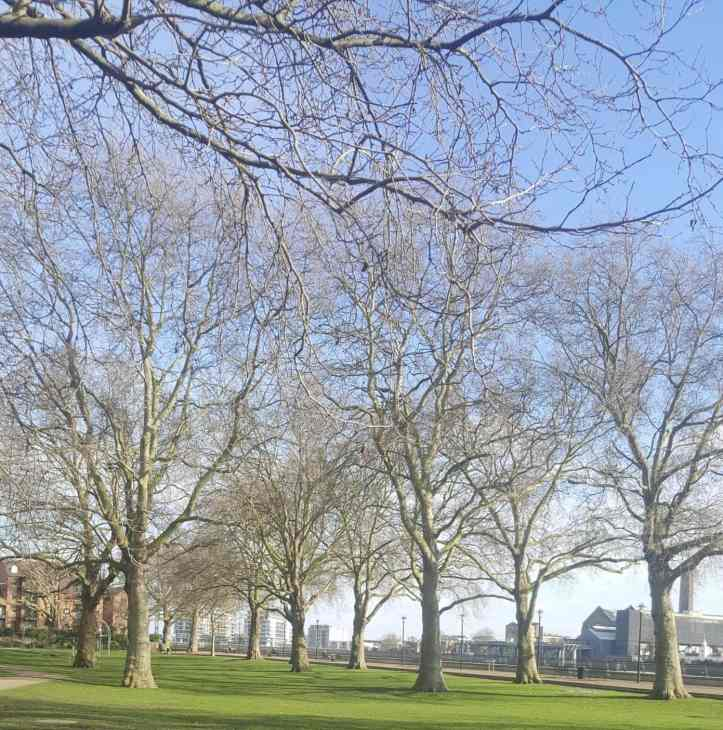 London Plane trees and Island Gardens