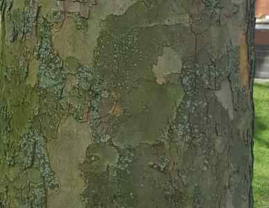London Plane Tree (Platanus × acerifolia)