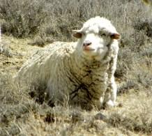 sitting white sheep