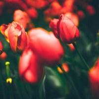 Фестиваль тюльпанов в Стамбуле — программа и даты 2020