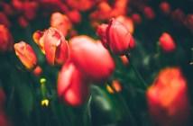 Фестиваль тюльпанов в Стамбуле — программа и даты