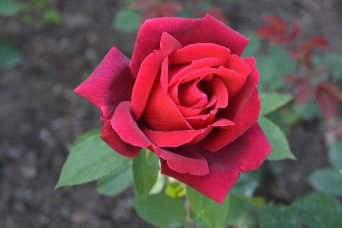 Роза в Никитском саду, Крым