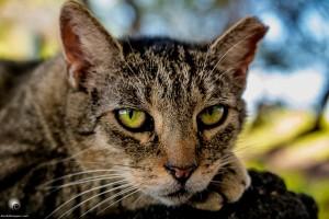 Waikoloa feral cats (11 of 22)