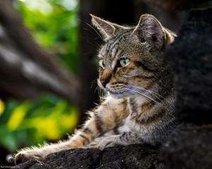 Waikoloa feral cats (12 of 22)