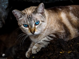 Waikoloa feral cats (18 of 22)