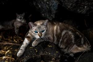Waikoloa feral cats (19 of 22)
