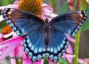 Red-Spotted-Purple butterfly