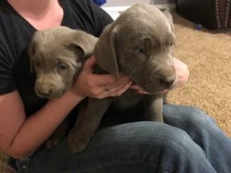 Silver-Lap-male-puppy