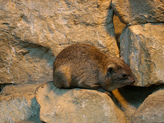 The Bible clearly says rock badgers are not to be eaten
