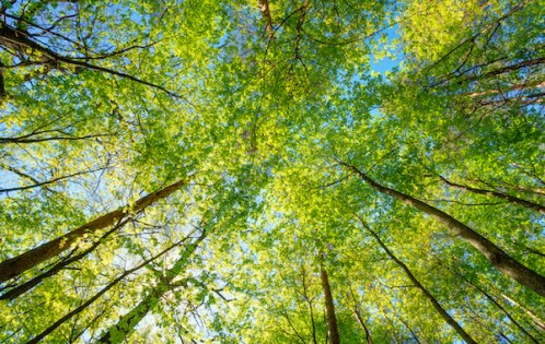 trees with green leaves and blue sky