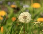 Close-Up: Dandelion