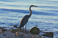 Heron at Sunrise