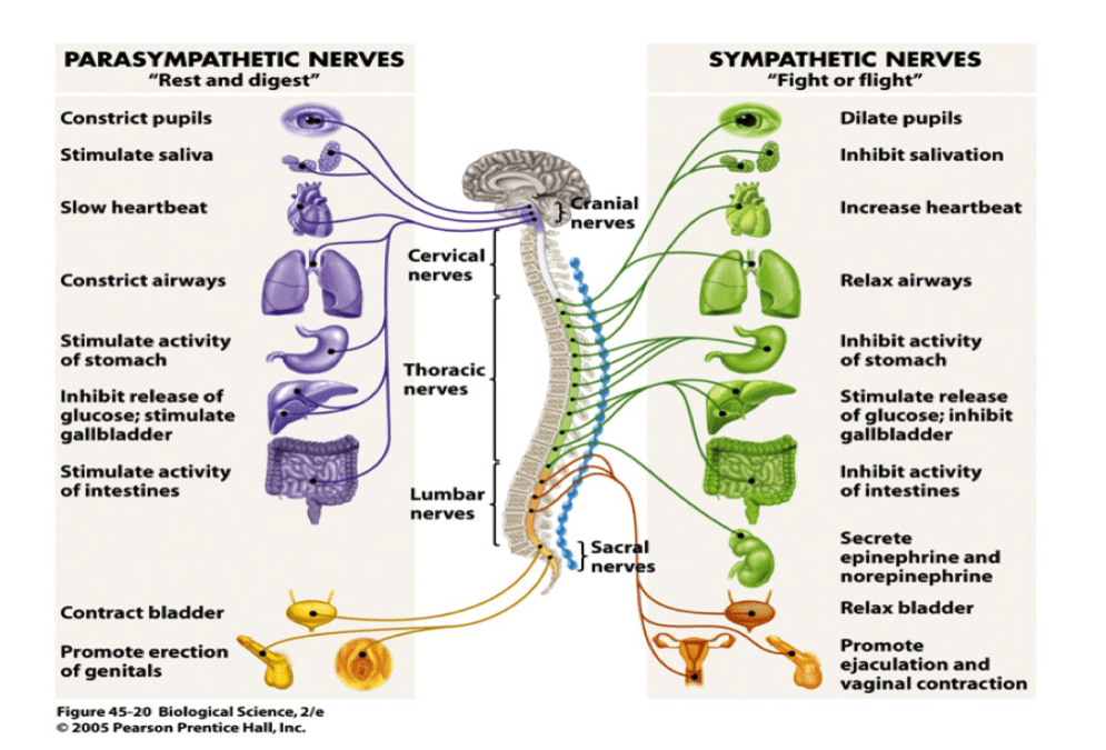 How Do Healing Modalities Work Your Autonomic Nervous System