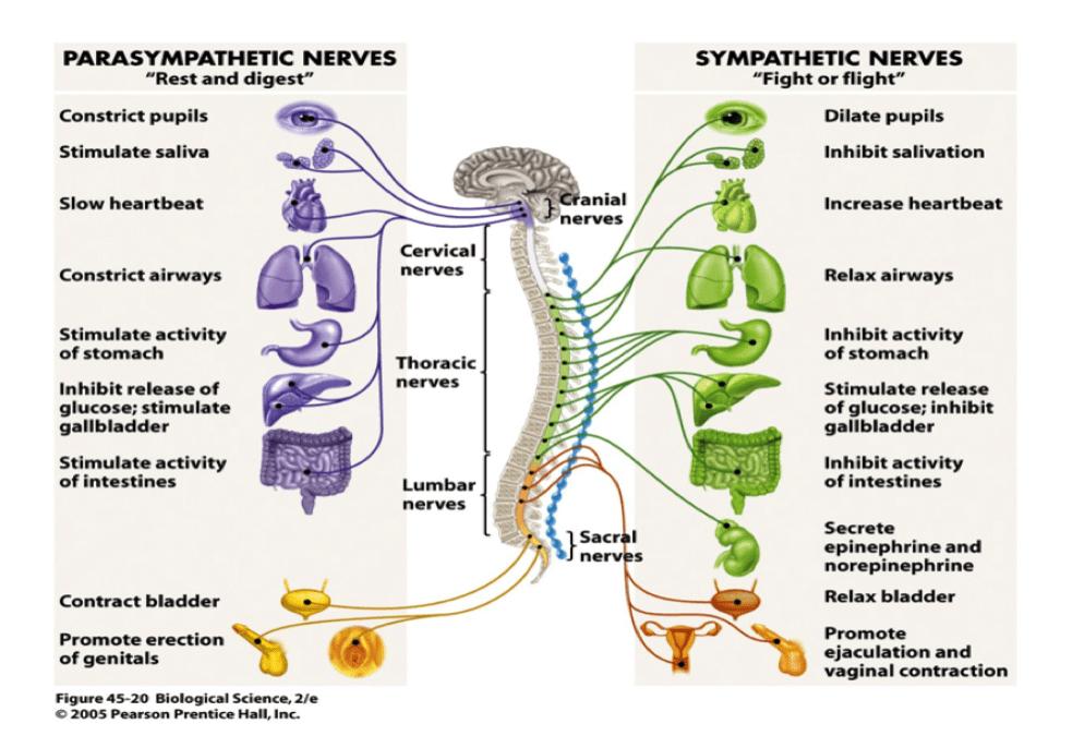 The Autonomic Nervous System - Parent and Kid Stress
