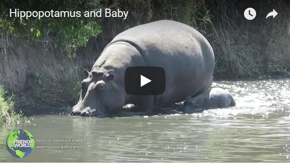 Hippo and Baby
