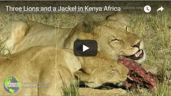 Three Lions and a Jackal in Kenya Africa