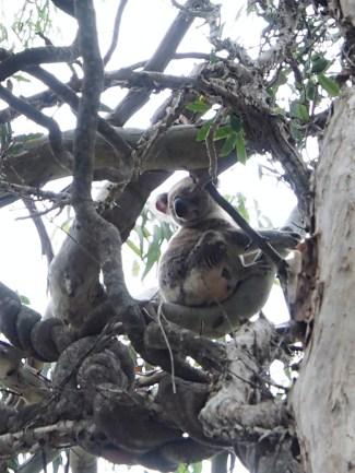 koala!!