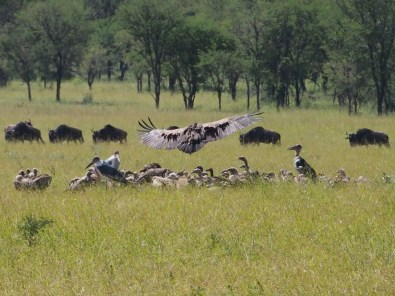 vultures picking over a wildebeest carcas