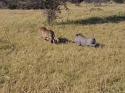warthog chasing a cheetah