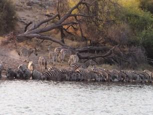 zebras at the Boteti River
