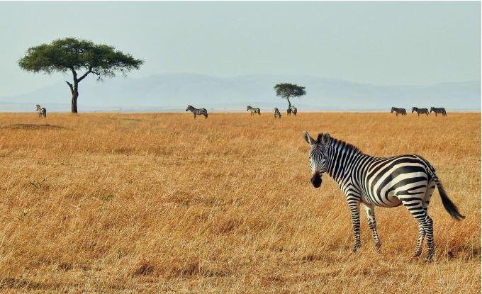 zebraSafari.JPG