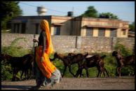 A woman in a colorful saree herds goats along a rural road between Delhi and Jaipur.