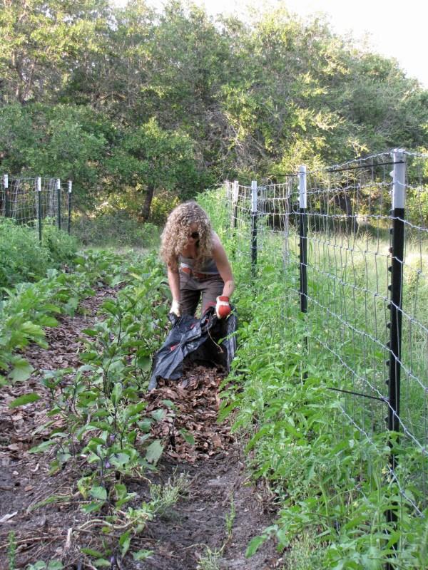 native leaf mulch tomatoes