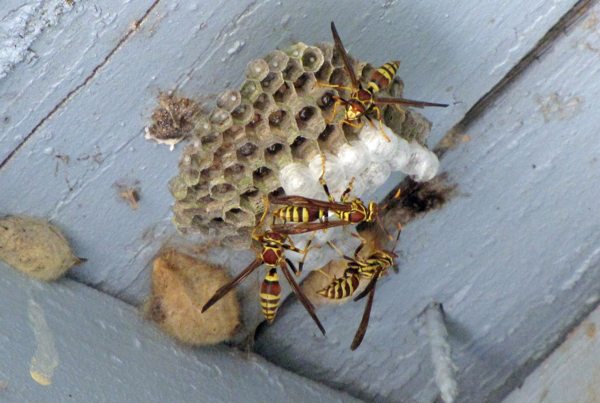 Wasps Killing Caterpillars Four String Farm