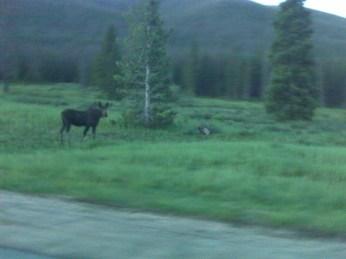 Moose near Cameron Pass