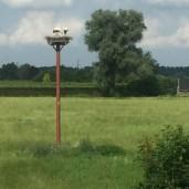 ooievaar nest met twee jonge ooievaars