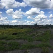 koe in veld, Arnhem in verte