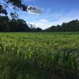 korenveld met stad in achter
