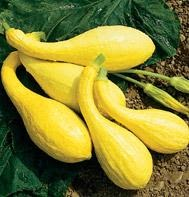 Summer Squash/Zucchini