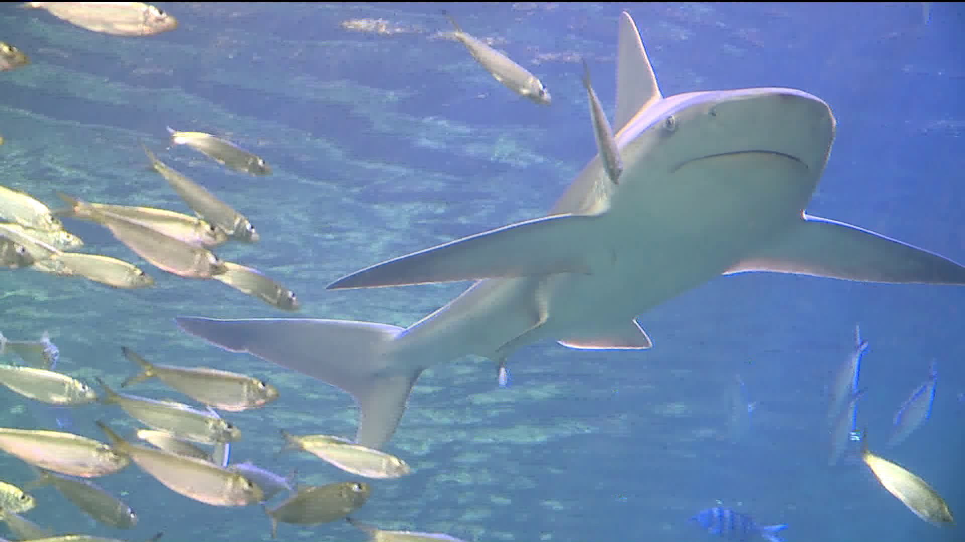 Shark Canyon promises to be a popular attraction when St. Louis ...