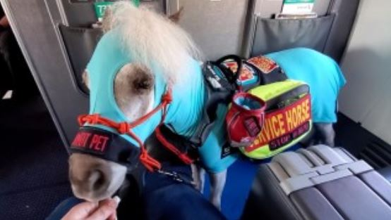 Picture of a mini horse on an airplane