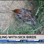 What should you do if you find dead birds on your property from the songbird illness? 💥😭😭💥