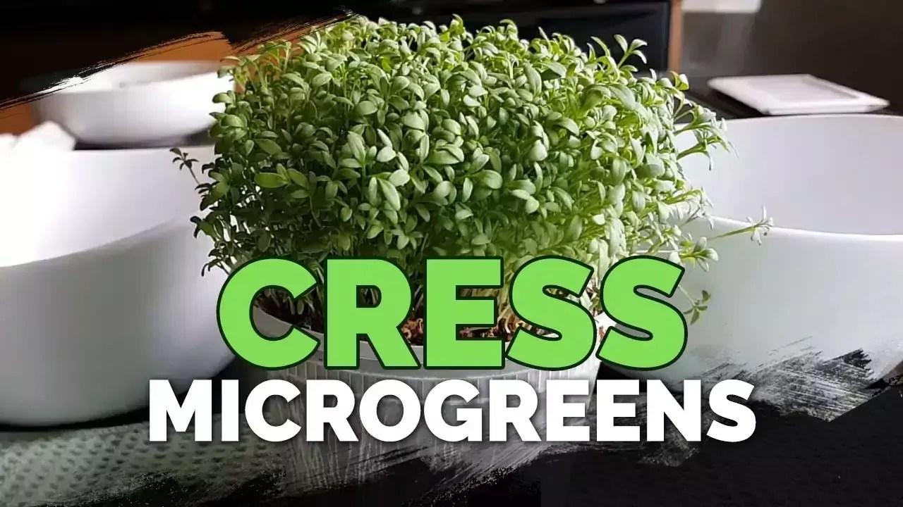 garden cress micro-green,s