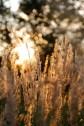 grasses-383896_1280