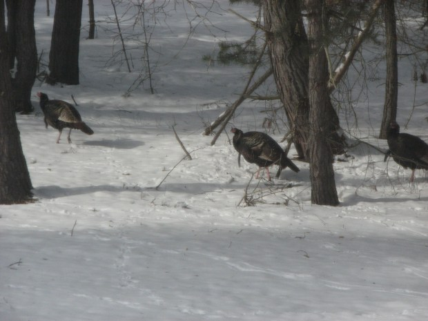 wild tom turkeys