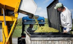 Machine harvest of grapes at Fox Run Vineyards