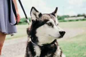 Winery dog, Shilo in backyard at Fox Run