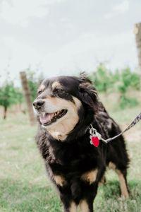 Winery dog, Ollie in the backyard at Fox Run