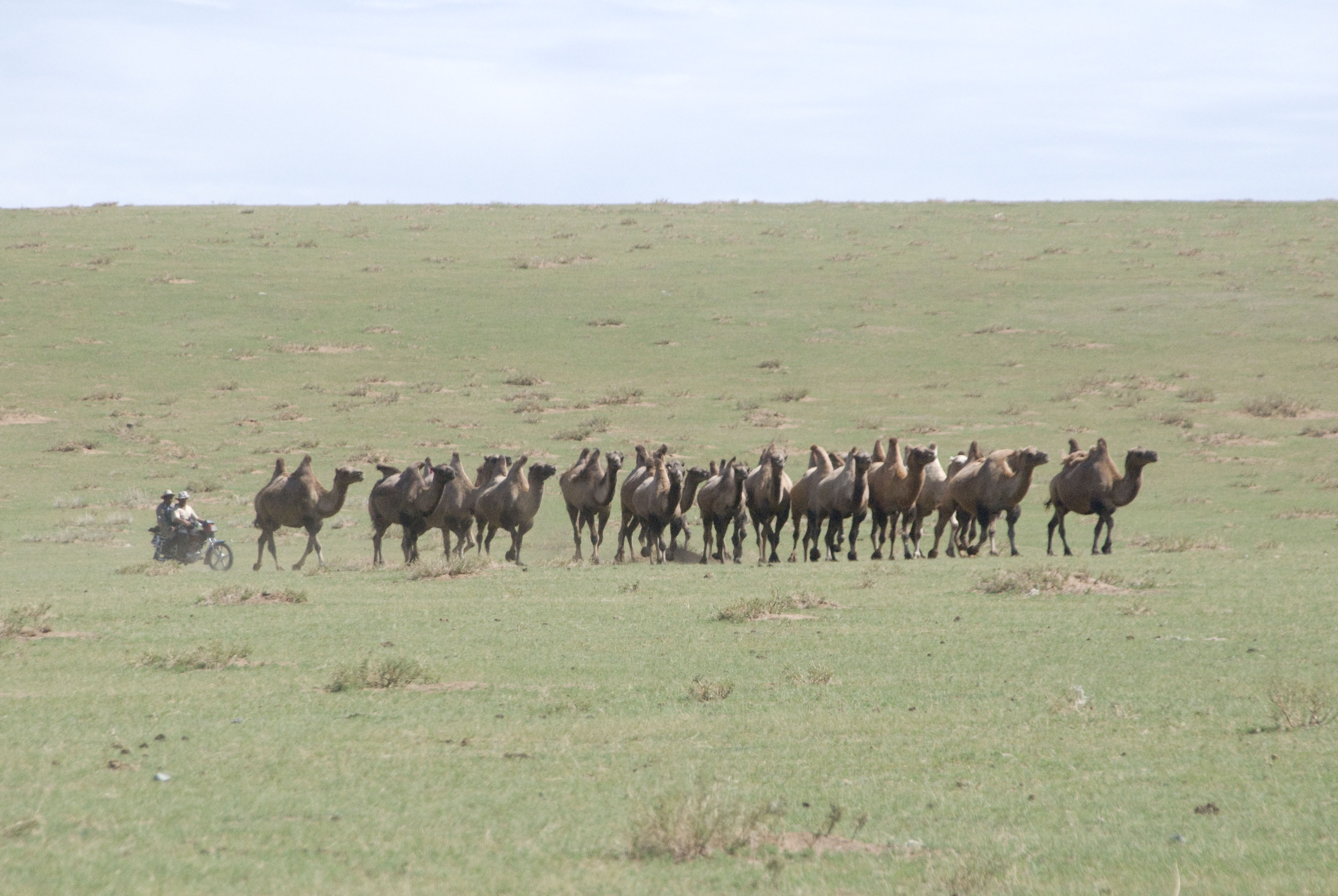 A somewhat more contemporary method of herding camels