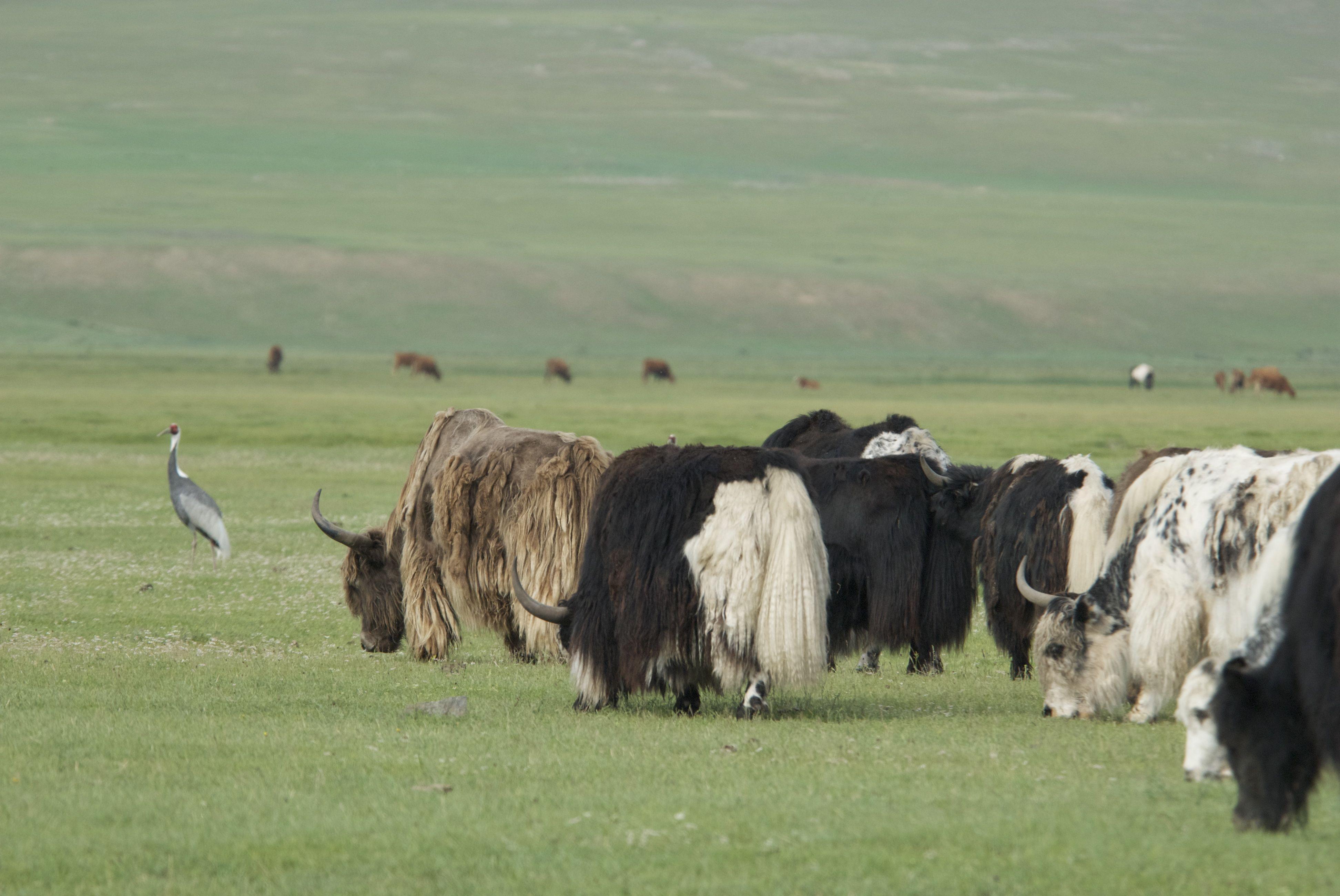 Siberian white-napped crane and domestic yaks