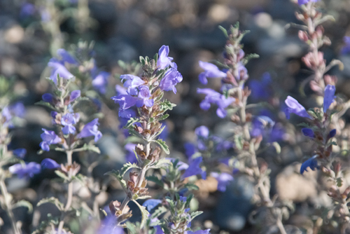 Hyssop, Lophanthus chinensis