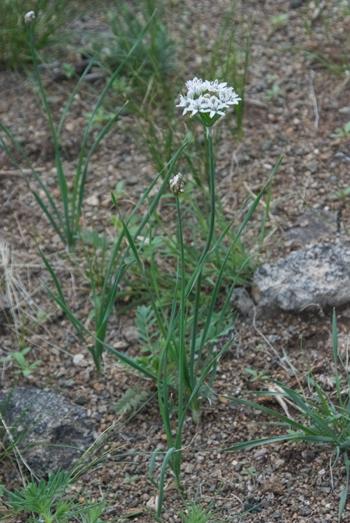 Onion, Allium odorum