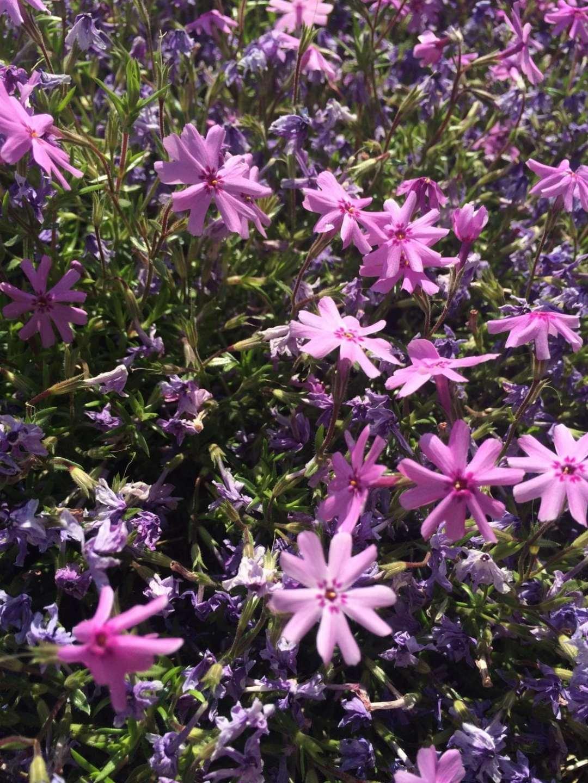 GR purple flowers