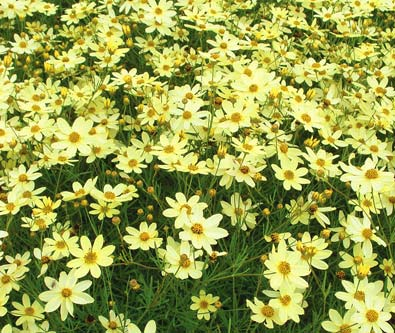 Coreopsis_Moonbeam1